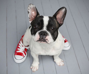 dog, cute, and converse image