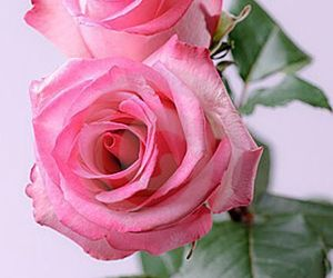 beautiful, feminine, and rose image