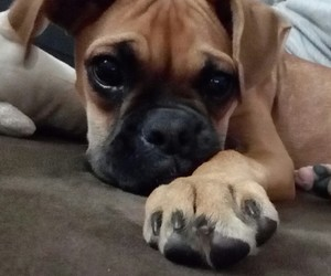 boxer and dog image