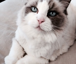 cat, love, and ragdoll image