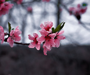 cherry blossoms, floral, and flower photography image