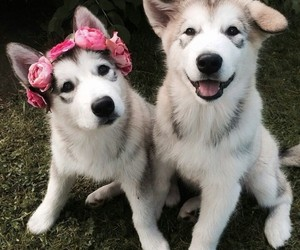 husky, puppy, and cute image
