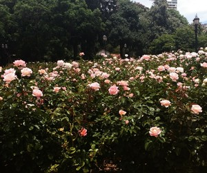pink, rosas, and flores image