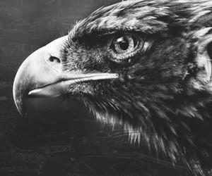 aguia, black, and eagle image