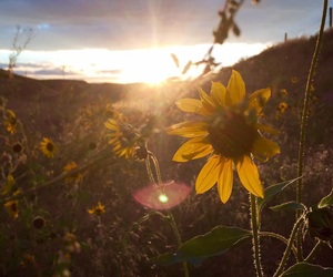 nature, sunflowers, and hippie love image