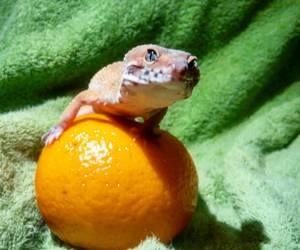 leopard gecko image