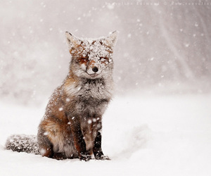 animals, cold, and fox image