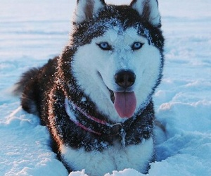 winter and siberian husky image