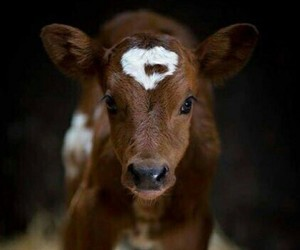 animals, baby, and cow image