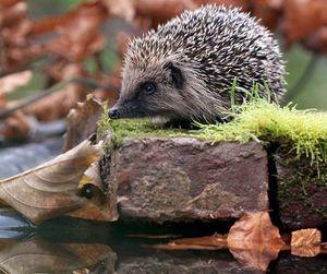 animal, hedgehog, and pool image