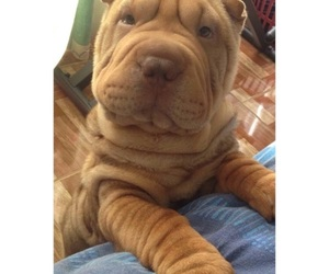shar pei and shar peo image