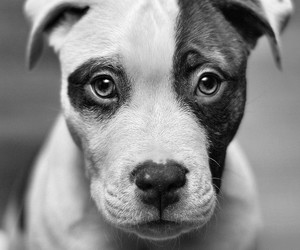 animals, blackwhite, and dogs image
