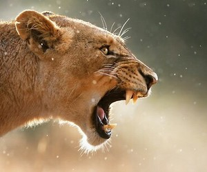animal, lion, and lioness image