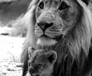 father and son, family love, and lions image