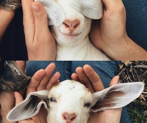 aesthetic, animals, and goat image