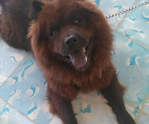 Animales, chow chow, and cute dog image