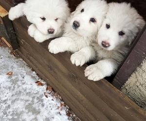 animals, puppies, and abruzzo sheepdog image