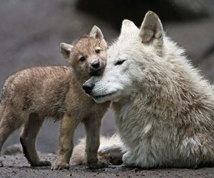 wolf, cute, and animals image