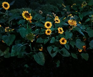 fave, sunflower, and ppphtog image
