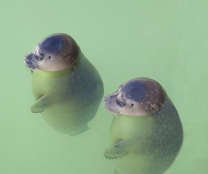 animal, seal, and water image