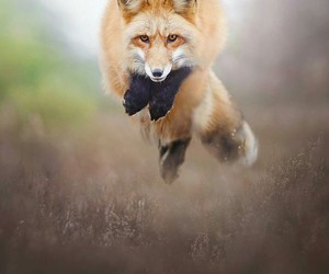 animals, fox, and jumping image