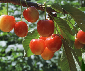 aesthetic, cherries, and food image