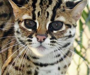 кот, рысь, and гепард image