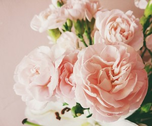 carnation, flower, and pink image