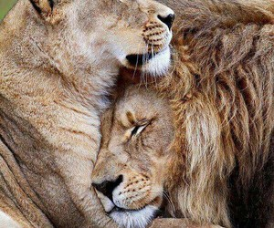 animals, lion, and beautiful image
