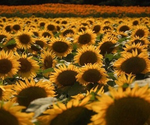 photography and sunflowers image
