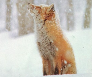 fox, red, and snow image