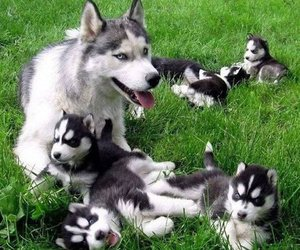 dog, husky, and animals image