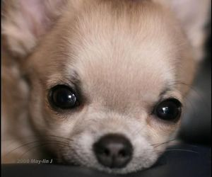animals, chihuahua, and dogs image