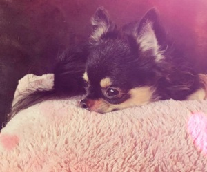 chihuahua, cutie, and diva image