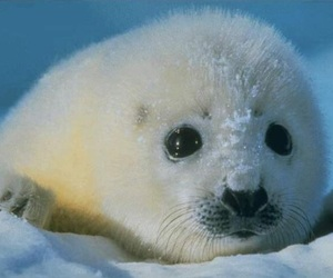 seal, snow, and cute image