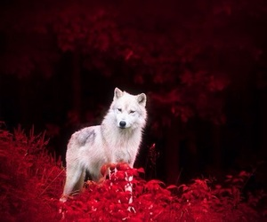 wolf, animal, and red image