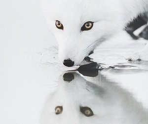 white and fox image