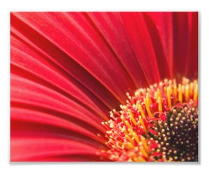 flower, red, and gerbera image
