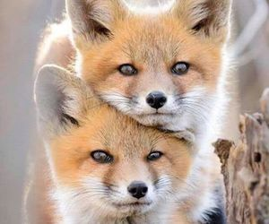 animal, fox, and wild image