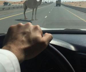 arab, camel, and lol image