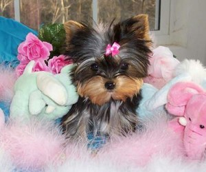 yorkshire+terrier and yorkshire+terrie image
