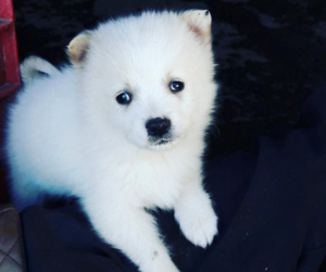 beautiful, puppy, and white image