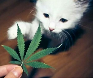 kitten, marihuana, and weed image