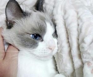animals, beautiful, and kitty cat image