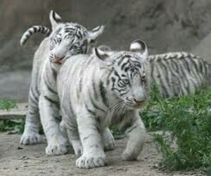 baby tigers image