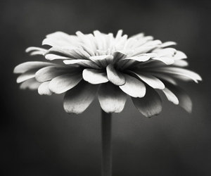 flowers, black and white, and photography image