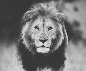 animal, lion, and photography image