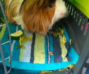 chile, cuy, and guinea pig image