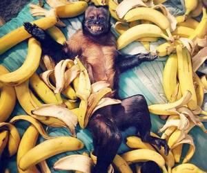 monkey, banana, and animal image