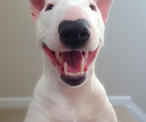 bull terrier, dog, and smile image
